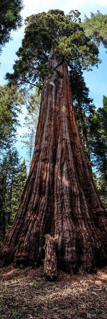Sequia Tree